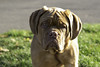 wrinkles (dtaphotography) Tags: barhsawpark dog grass grumpy notsohappy october outdoors paisley smalleyes wrinklyfacedog doguedebordeaux
