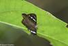 Chamunda chamunda (Olive Flat) - Female (GeeC) Tags: animalia arthropoda butterfliesmoths cambodia chamunda chamundachamunda hesperiidae hesperioidea insecta kohkongprovince lepidoptera nature oliveflat pyrginae skipperbutterflies tatai