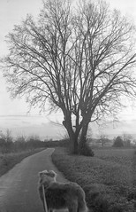 tree and a dog (salparadise666) Tags: voigtlander bergheil 9x12 rollex back 6x9 heliar 135mm fomapan 100 boxspeed caffenol cl semistand 60min nils volkmer vintage plate folding view camera bw black white monochrome plant dog animal tree landscape nature