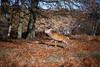 IMG_9142 (Zapkus) Tags: wild nature deer reddeer park forest morning outside animal london zapkus 2017