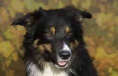 Autumn colors (Flemming Andersen) Tags: autumn colors bordercolli dog yatzy