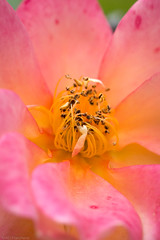 Fading (The Frustrated Photog (Anthony) ADPphotography) Tags: category eskisehir flickrpost flora places travel turkey macro macrodreams bright pink yellow rose flower flowers plant closeup narrowdof sigma105mmmacro canon70d autumn canon depthoffield