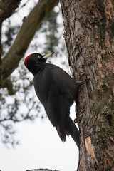 Black woodpecker (Dryocopus martius) (tmy81) Tags: dryocopusmartius palokärki blackwoodpecker