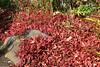 Fallen Acer Leaves (Bri_J) Tags: botanicalgardens sheffield southyorkshire uk park yorkshire nikon d7200 autumn fall acer fallenleaves