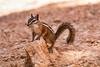 Chipmunk. (deepskywim) Tags: zoogdieren dieren eekhoorns bryce utah unitedstates us