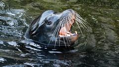 californian sealion Blijdorp BB2A8094 (j.a.kok) Tags: sealion californischezeeleeuw californiansealion america amerika zeeleeuw blijdorp mammal zoogdier dier animal