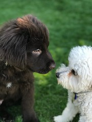 "#stevebrooksk9u #dogtaining #newstudent #jax #newfoundland #puppy and #myboy #uni #toypoodlemix #firstgreeting #newfriend • <a style=""font-size:0.8em;"" href=""http://www.flickr.com/photos/95808399@N03/38866606352/"" target=""_blank"">View on Flickr</a>"