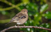 Chaffinch - female - (Fringilla coelebs) 'L' for large (hunt.keith27) Tags: second commonest breeding bird mostcolourful patternedplumage flash white wings outer tail feathers stovercountrypark devon canon