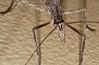 Zaprochilus sp Zaprochilinae Tettigoniidae Horseman Rd Warwick SQ P1100061 (Steve & Alison1) Tags: zaprochilus sp zaprochilinae tettigoniidae horseman rd warwick sq