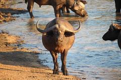 Timbavati Private Nature Reserve - Buffalo