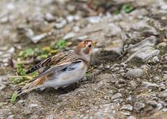 Snow Bunting ( Plectrophenax nivalis ) (Dale Ayres) Tags: snow bunting plectrophenax nivalis bird nature wildlife