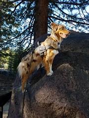 Adventure Time (Songdog Studios) Tags: adventure travel exploration phone photos aussie australian shepherd dog california desert lassen volcano national park