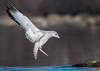 Ring-billed Gull (b88harris) Tags: ring billed gull white black brown bird river wildlife winter park hiking kayaking migration lens nature nikon nikkor male long water tree