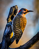 Northern Flicker -_ (dbking2162) Tags: birds bird nature nationalgeographic wildlife animal northernflicker trees profile beauty indiana