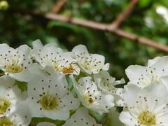 Enjoying the fresh blooms! (tessab101) Tags: spider spiders arachnid arthropods blue mountains nsw australia crab flower thomisidae