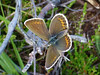 Silver-studded Blue,  New Forest NP, Hampshire, England (east med wanderer) Tags: england hampshire uk newforestnationalpark silverstuddedblue female butterfly heathland plebejusargus