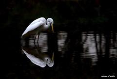 airone bianco maggiore _MG_1315 (miriamdovidio) Tags: ngc airone aironebiancomaggiore specchio uccelli birds volatili sfondonero bianco becco beccogiallo