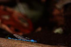 Photo00038 (KarenVázquezPhotography) Tags: natural naturaleza animal libélula azul insecto ser vivo árbol tree blue