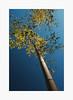 Lofty Aspirations (bnishimoto) Tags: fuji fujifilm myfujifilm xpro2 hakonegardens saratoga bayarea photoessay 1855mm classicchrome color japanesegarden nature bamboo spring