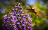 """Small yet Mighty"" Allen's Hummingbird (Cathy Lorraine) Tags: allenshummingbird huntingtonbeach california flowers macro bird hummingbird plant bokeh nature outdoors sunrays5 ngc coth5 npc"