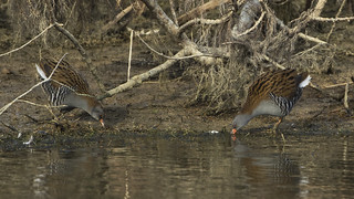 Water rail - Christmas comes early!