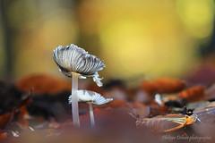 Le coprin pied de lièvre (Phidel 60) Tags: champignon champignons forêt nature lumière bokeh coprin feuilles transparence mushrooms