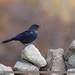 Blue Whistling Thrush (Myophonus caeruleus)