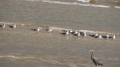 DSC04907 (Matthew283) Tags: bolvar wildlife 11182017 reddish egret
