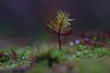 Hallo Welt! / Hello World! (densenato) Tags: natur nature tree trees mikro makro macro tamron90mm nikond7200 d7200 nikon duvenstedt wald waldboden waldleben tanne tannenbaum nadelbaum baum nadel november autumn herbst