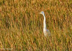 Great Egret (sbuckinghamnj) Tags: everglades evergladesnationalpark florida egret greategret bird