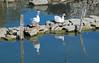 welcome committee (phacelias) Tags: ganzen geese oche isola isolamaggiore lagoditrasimeno trasimenomeer trasimenolake umbria water reflections
