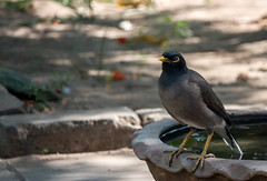 Myna (faram.k) Tags: bird myna ahmedabad gujarat india in