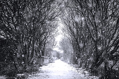 it's snow time ! (ChicqueeCat) Tags: snow landscape nikon d3300 blackwhite snowfalling