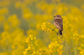 Beauty In Yellow (Siberian Stone-chat)