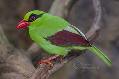 _IMG1944  Green Magpie (Pete.L .Hawkins Photography) Tags: petehawkins petelhawkinsphotography petelhawkins petehawkinsphotography pentax 100mm macro pentaxpictures pentaxk1 fantasticnature fabulousnature incrediblenature naturephoto wildlifephoto wildlifephotographer naturesfinest unusualcreature naturewatcher pentaxda300mm