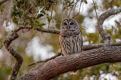 Barred Owl (wn_j) Tags: birds birding birdsofprey nature naturephotography circleb circlebbar wildlife wildanimals wildlifephotography canon canon500mm canon1dxii owl barredowl woods floridabirds floridawildlife