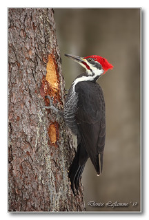 1E1A9698-DL   Grand pic (mâle) / Pileated Woodpecker (male).