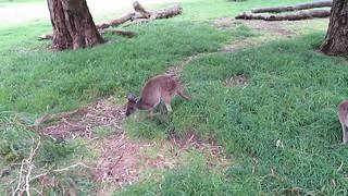 2017-102470 Kangaroo
