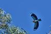 DSC_6336 (Kjell Arild Dokka) Tags: råkefugler bengalråke coracias benghalensis iran bandarabbas jahadpark