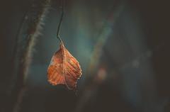 Light on the dry leaf (Dhina A) Tags: sony a7rii ilce7rm2 a7r2 sigma 105mm f28 sigma105mmf28exdgoshsmmacro macro ex dg os hsm dry leaf december bokeh