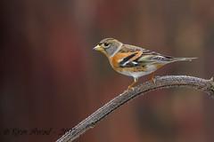 xxD40_6254 (Eyas Awad) Tags: eyasawad nikond4 sigma500f45 nikond800 nikonafs300mmf4 bird birds birdwatching wildlife nature peppola fringillamontifringilla