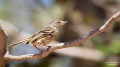 Pearly-vented Tody-tyrant (Cristofer Martins) Tags: pearlyventedtodytyrant sebinhodeolhodeouro hemitriccusmargaritaceiventer nature wildlife birds bird birdwatching brazilianbirds coth coth5