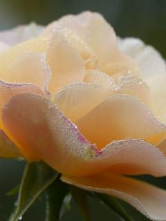 morning dew on rose