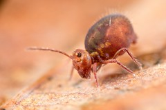 Dicyrtoma fusca var. 1 (Jerome Picard) Tags: collembola collembole springtail mesofauna hexapoda dicyrtoma macro canon eos 5d markiv mpe france fr