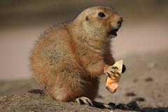 Prairiedog @ Wildlands Adventure Zoo Emmen 11-03-2017 (Maxime de Boer) Tags: prairiedog prairiehondje wildlands adventure zoo emmen animals dieren dierentuin gods creation schepping genesis