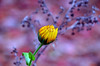 Beginnings and endings (James_D_Images) Tags: flower bud opening november community garden life death seasons bokeh