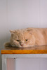 DSC02852-2 (Wang Foto - 0969 92 97 91) Tags: cat cute pet photography animal cuties kitten kitty lovely tiny mycat babycat sonya7r carlzeiss scottishfold britishshorthair scottishcat catphoto cutecats wangfotovn