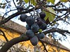 WP_20171112_07_45_08_Pro (vale 83) Tags: grapes microsoft lumia 550 friends autofocus