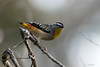Bigger isn't always best! (Derek Midgley) Tags: dsc2581 spotted pardalote pardalotus punctatus explore congrats