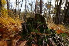Waldmotive im Herbst (Lutz Blohm) Tags: waldmotive pfälzerwald herbststimmung herbst herbstimpressionen baumstümpfe baumwurzeln bäume herbstsonne herbstidylle zeissbatis18mmf28 sonyalpha7aii